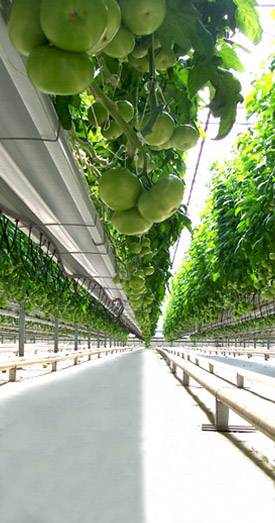 Suntech Greenhouses Growing Methods